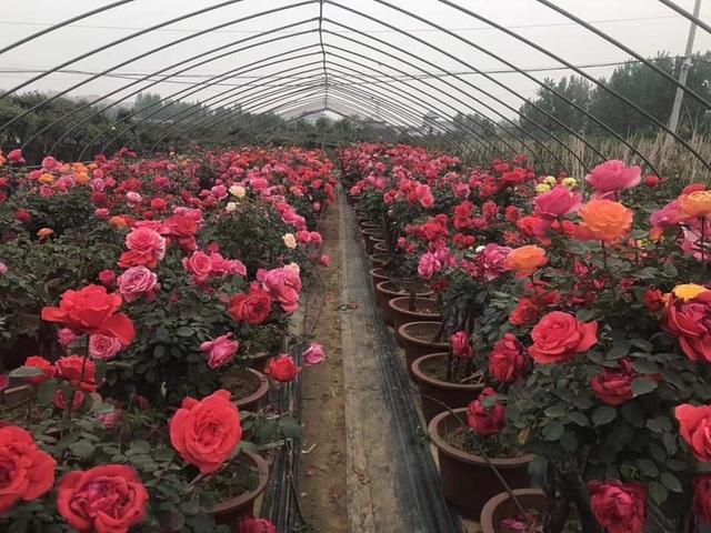 Bỏ việc nhà băng về trồng hoa hồng, 9X Lai Châu kiếm bộn tiền - 3