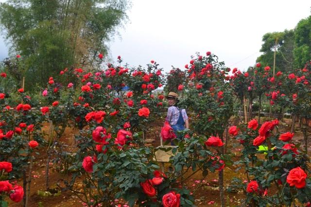 Bỏ việc nhà băng về trồng hoa hồng, 9X Lai Châu kiếm bộn tiền - 6