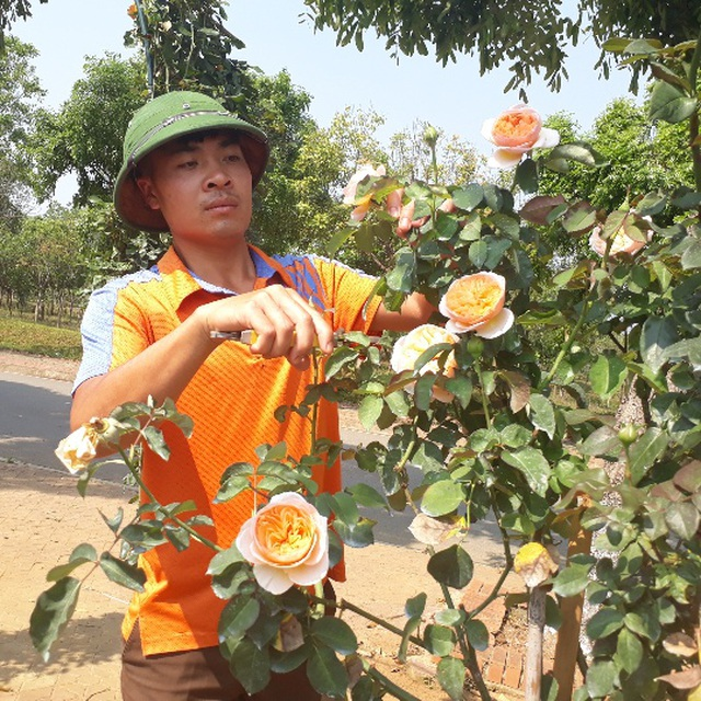 Bỏ việc nhà băng về trồng hoa hồng, 9X Lai Châu kiếm bộn tiền - 7