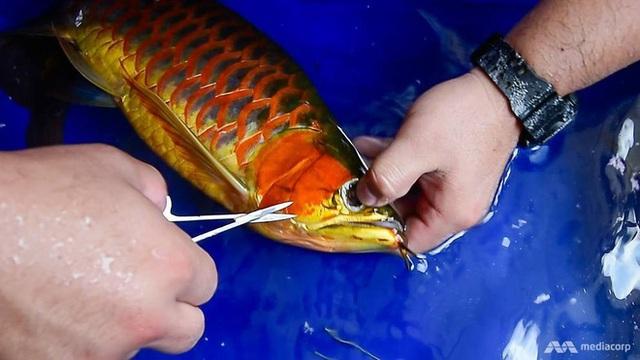 Loài cá phổ biến ở Châu Á có giá đắt hơn cả siêu xe Lamborghini - 2