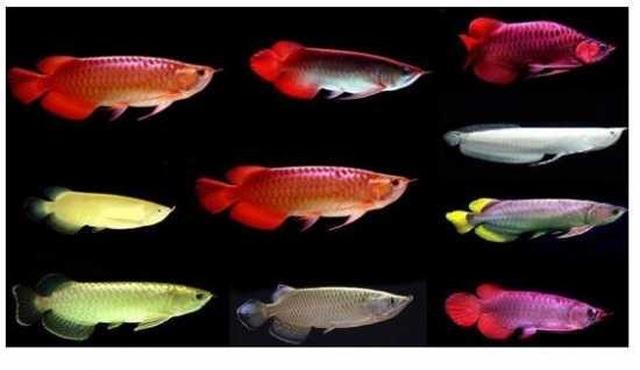 Loài cá phổ biến ở Châu Á có giá đắt hơn cả siêu xe Lamborghini - 3