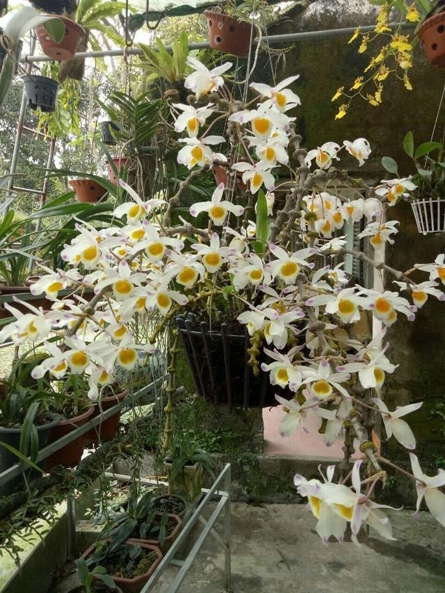 Lạ Thái Nguyên: Vườn lan nhiều loại siêu độc, giá cả chục triệu 1cm - 8