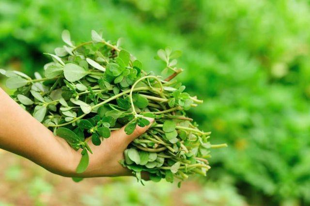 """5 loại cây mọc hoang tại Việt Nam, sang nước ngoài trở thành """"thần dược"""" đắt giá - 15"""