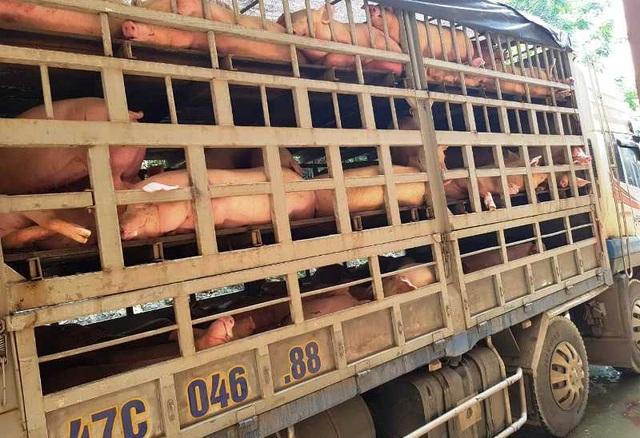 Đề nghị công an vào cuộc vụ vận chuyển lợn nhiễm bệnh dịch tả châu Phi đi tiêu thụ - 3