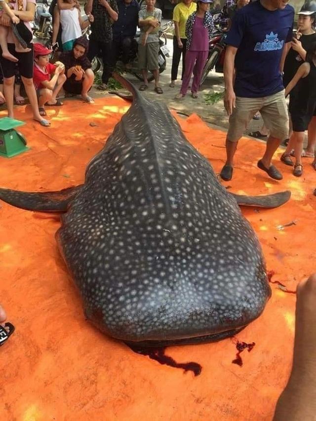Con cá khổng lồ ngư dân Sầm Sơn xẻ thịt bán là cá nhám voi quý hiếm - 2