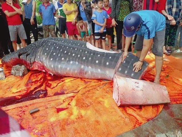 Con cá khổng lồ ngư dân Sầm Sơn xẻ thịt bán là cá nhám voi quý hiếm - 1