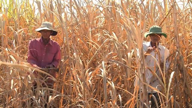 Phú Yên: Nông dân điêu đứng vì mía chết khô ngoài ruộng - 3