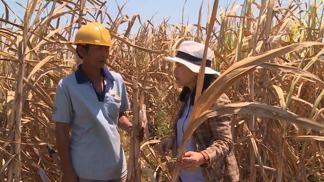 Phú Yên: Nông dân điêu đứng vì mía chết khô ngoài ruộng - 2