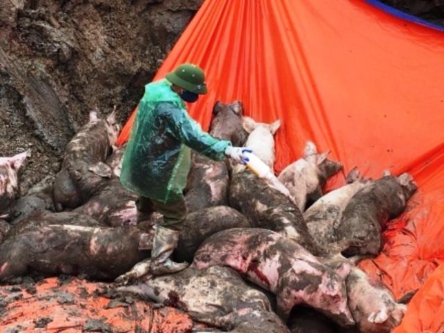 Ngăn chặn kịp thời xe tải chở 8 tấn lợn nhiễm dịch tả đi tiêu thụ - 1