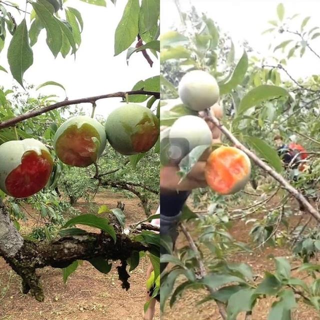 Nhóm phượt thủ gây phẫn nộ khi phí phạm trái cây trong vườn  - 1