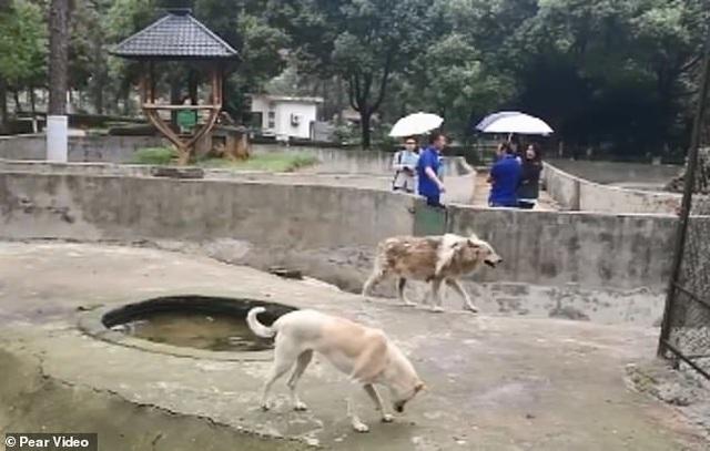 Vườn thú bị nghi lừa dối du khách khi nuôi chó nhà nhưng ghi biển... chuồng chó sói - 1