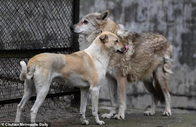 Vườn thú bị nghi lừa dối du khách khi nuôi chó nhà nhưng ghi biển... chuồng chó sói - 2