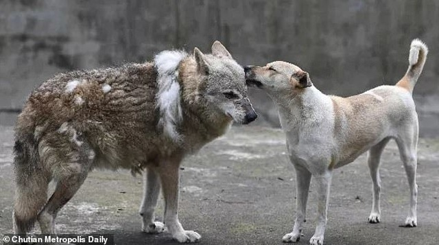 Vườn thú bị nghi lừa dối du khách khi nuôi chó nhà nhưng ghi biển... chuồng chó sói - 3