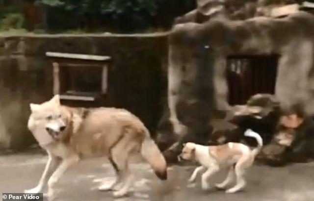 Vườn thú bị nghi lừa dối du khách khi nuôi chó nhà nhưng ghi biển... chuồng chó sói - 4