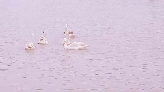 Người dân Hải Phòng đổ xô đi ngắm đàn thiên nga trên sông Tam Bạc - 7