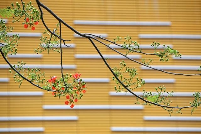 Hà Nội vào mùa hoa phượng vĩ nở đỏ rực rỡ - 10