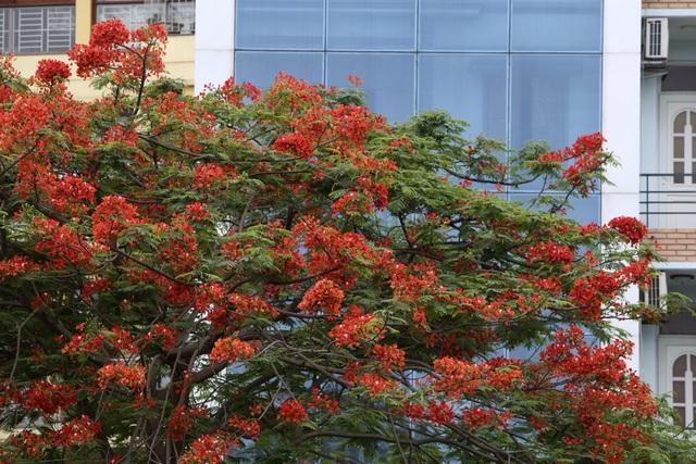 Hà Nội vào mùa hoa phượng vĩ nở đỏ rực rỡ - 12