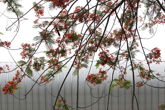 Hà Nội vào mùa hoa phượng vĩ nở đỏ rực rỡ - 13