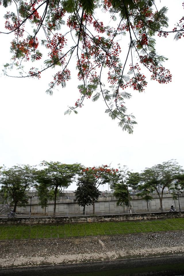 Hà Nội vào mùa hoa phượng vĩ nở đỏ rực rỡ - 14