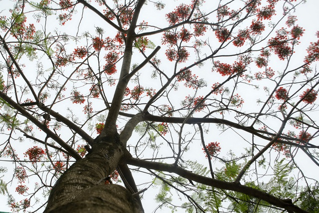 Hà Nội vào mùa hoa phượng vĩ nở đỏ rực rỡ - 3