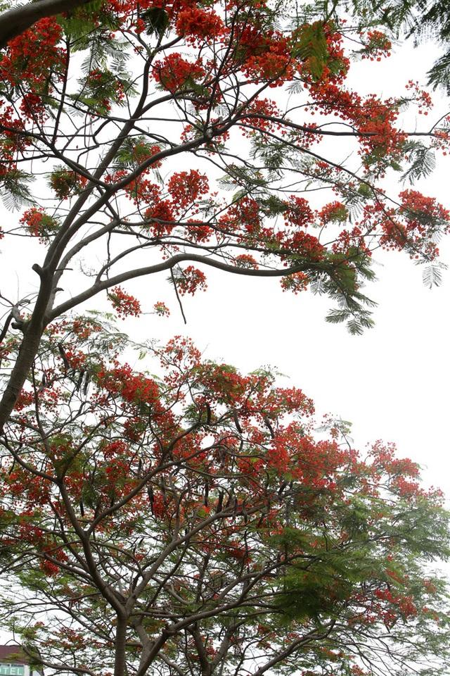 Hà Nội vào mùa hoa phượng vĩ nở đỏ rực rỡ - 5