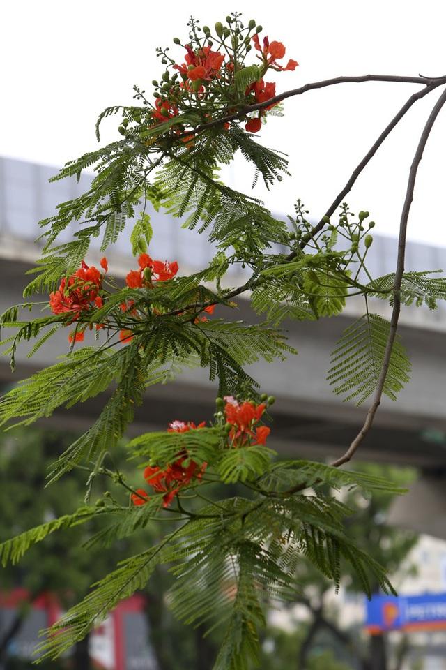 Hà Nội vào mùa hoa phượng vĩ nở đỏ rực rỡ - 8