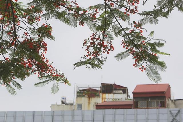 Hà Nội vào mùa hoa phượng vĩ nở đỏ rực rỡ - 9