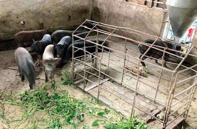 Dịch tả lợn châu Phi lan đến Bình Phước - 1