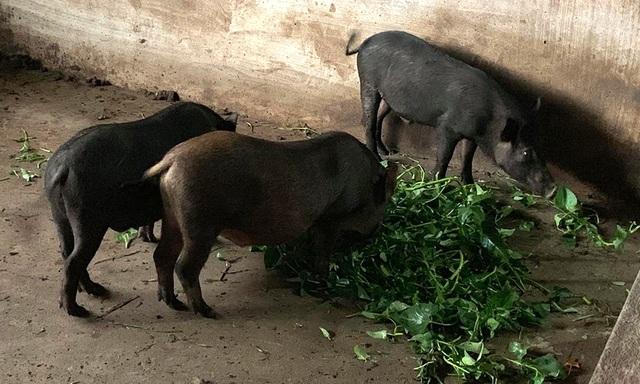 Dịch tả lợn châu Phi lan đến Bình Phước - 2