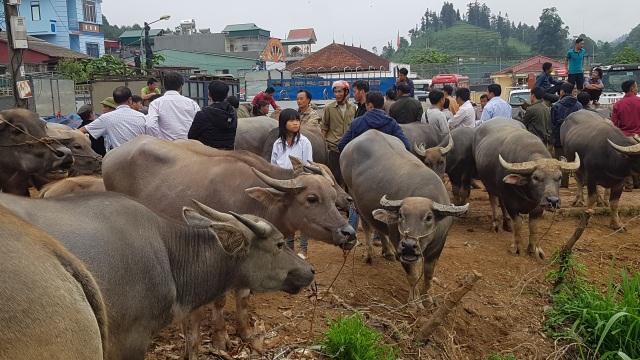 Độc đáo phiên chợ trâu lớn nhất vùng Tây Bắc - 19