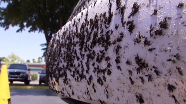 """Cảnh tượng như tận thế ở Mỹ khi hàng triệu con bọ """"xâm chiếm"""" thành phố! - 3"""