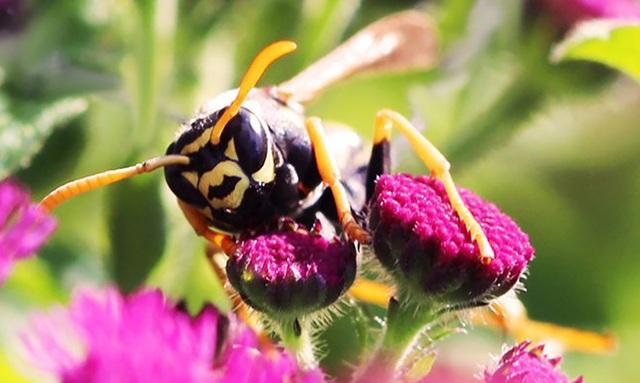 Ong bắp cày là loài côn trùng đầu tiên biết tính toán logic - 1