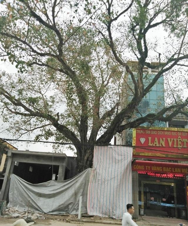 Chủ tịch tỉnh chỉ đạo kiểm tra việc cây bồ đề hàng trăm tuổi bị xâm hại - 1