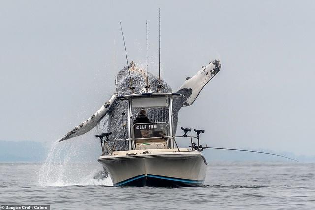 Thú vị khoảnh khắc cá voi lưng gù nhảy lên khỏi mặt nước ngay sát bên thuyền của ngư dân - 1
