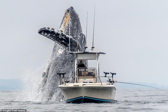Thú vị khoảnh khắc cá voi lưng gù nhảy lên khỏi mặt nước ngay sát bên thuyền của ngư dân - 2