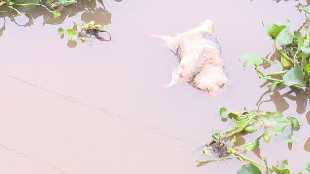 Đề nghị Bộ Công an điều tra, xử lý tình trạng vứt lợn bệnh ra môi trường - 2