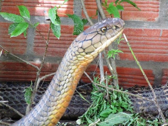Cặp rắn khủng đúng là rắn hổ mang chúa cực độc - 1
