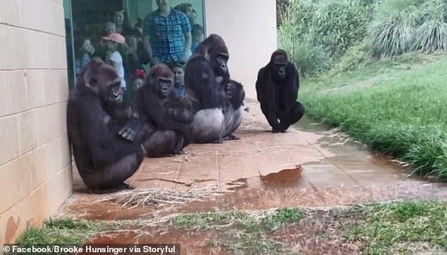 Khoảnh khắc hài hước của bầy khỉ đột nháo nhào tìm chỗ trú mưa - 2