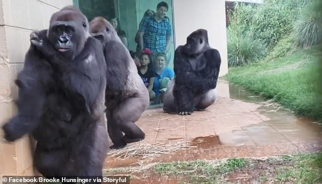 Khoảnh khắc hài hước của bầy khỉ đột nháo nhào tìm chỗ trú mưa - 3