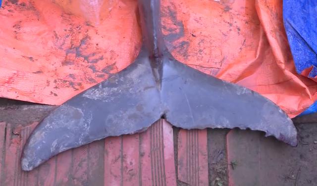 Bắt được cá lạ nặng 150kg trên sông Cổ Chiên - 3