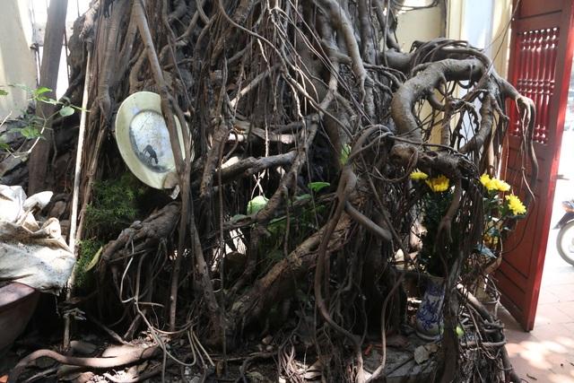 """Cây đa cổ thụ với bộ rễ """"khổng lồ"""" có tuổi đời hàng trăm năm ở Đình Cổ Vũ  - 7"""