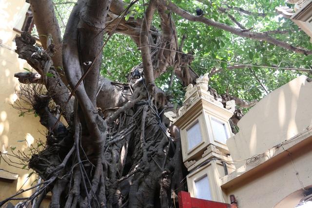 """Cây đa cổ thụ với bộ rễ """"khổng lồ"""" có tuổi đời hàng trăm năm ở Đình Cổ Vũ  - 4"""