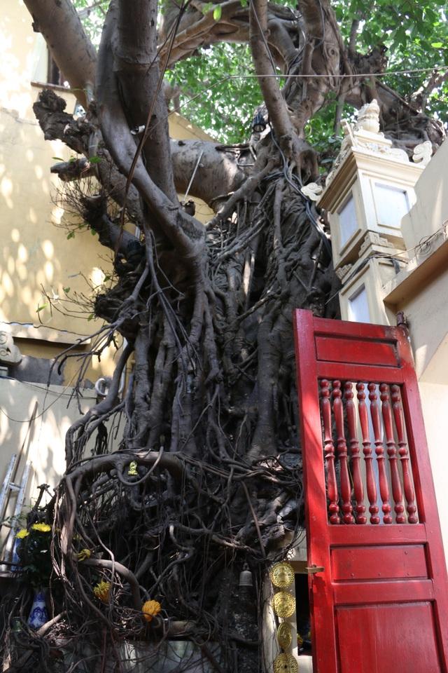 """Cây đa cổ thụ với bộ rễ """"khổng lồ"""" có tuổi đời hàng trăm năm ở Đình Cổ Vũ  - 5"""