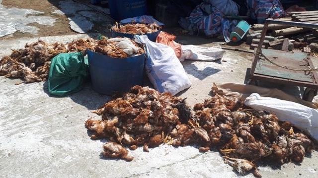 Trại gà bị tấn công trong đêm khiến hơn 1.200 con gà bị chết - 1