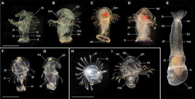 Các nhà sinh vật học khám phá ra loài ấu trùng biển bí ẩn - 1
