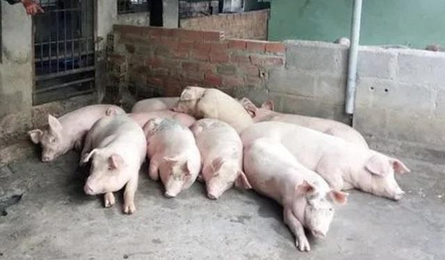 Khánh Hòa: Khống chế dịch tả lợn Châu Phi, không cho lan rộng - 1