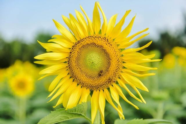 """""""Phát sốt"""" với cánh đồng hoa hướng dương đẹp ngất ngây ngay gần Hà Nội - 7"""