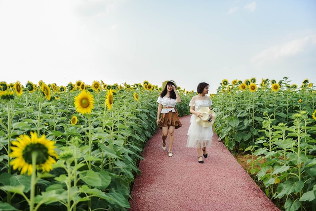 """""""Phát sốt"""" với cánh đồng hoa hướng dương đẹp ngất ngây ngay gần Hà Nội - 8"""