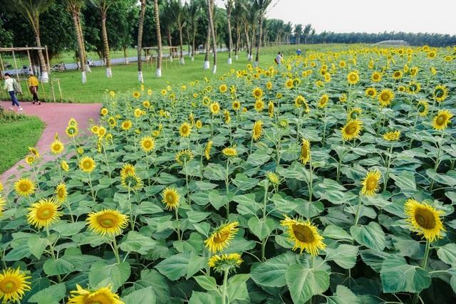 """""""Phát sốt"""" với cánh đồng hoa hướng dương đẹp ngất ngây ngay gần Hà Nội - 3"""