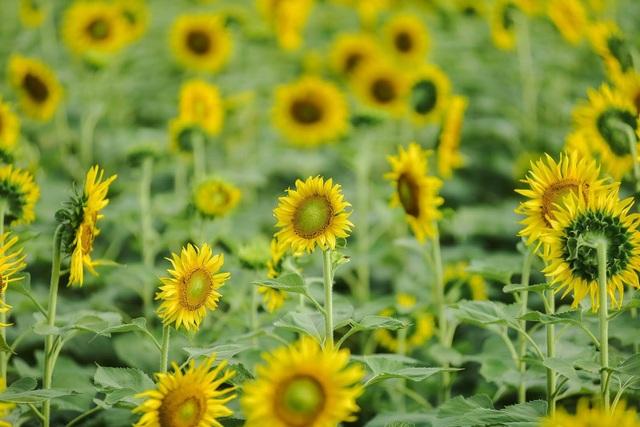 """""""Phát sốt"""" với cánh đồng hoa hướng dương đẹp ngất ngây ngay gần Hà Nội - 4"""